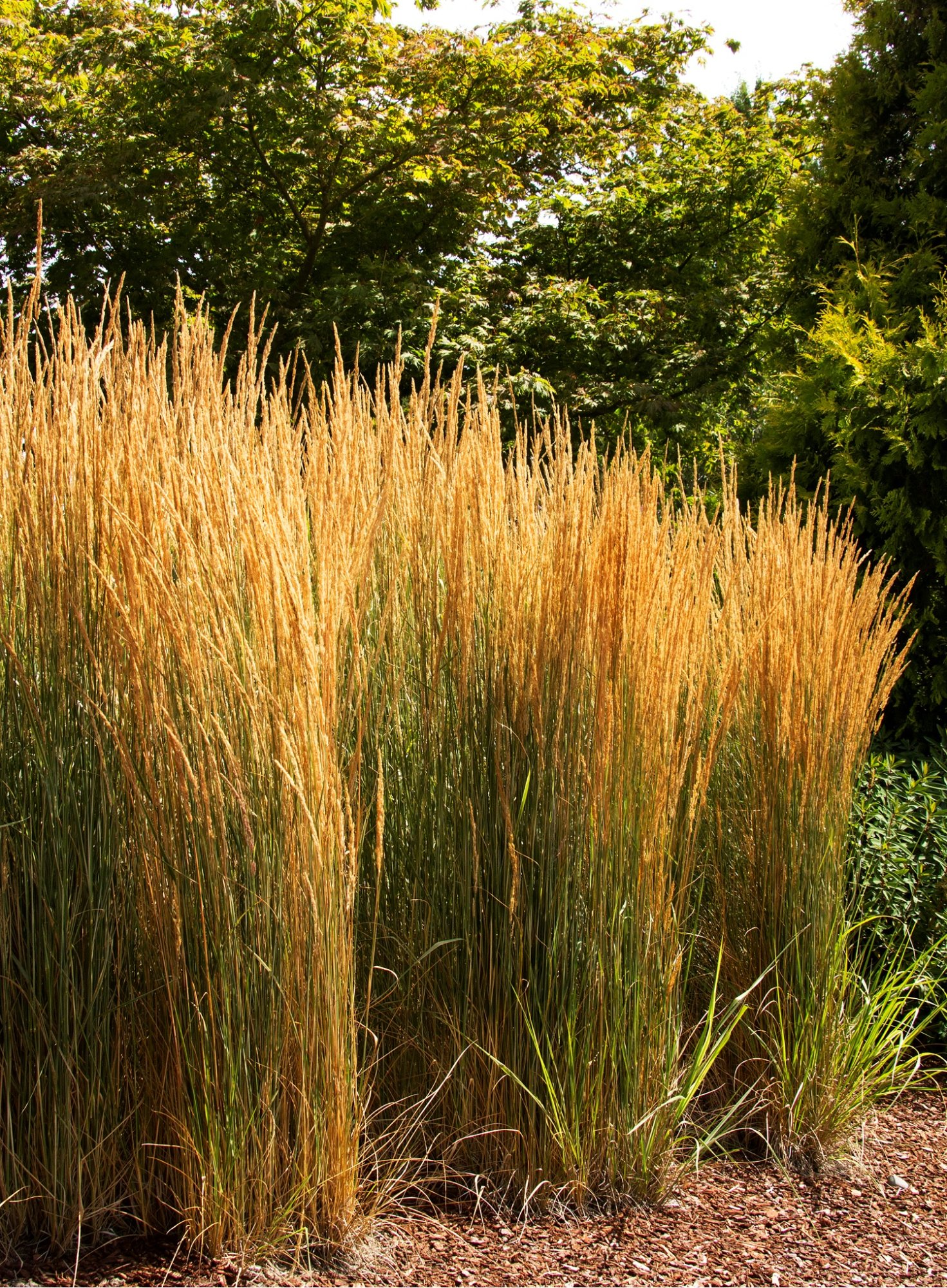 Overdam feather reed grass plant library pahl 39 s market for Tall perennial grasses